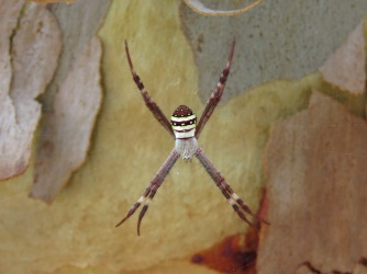 St Andrews Cross Spider - White Rock
